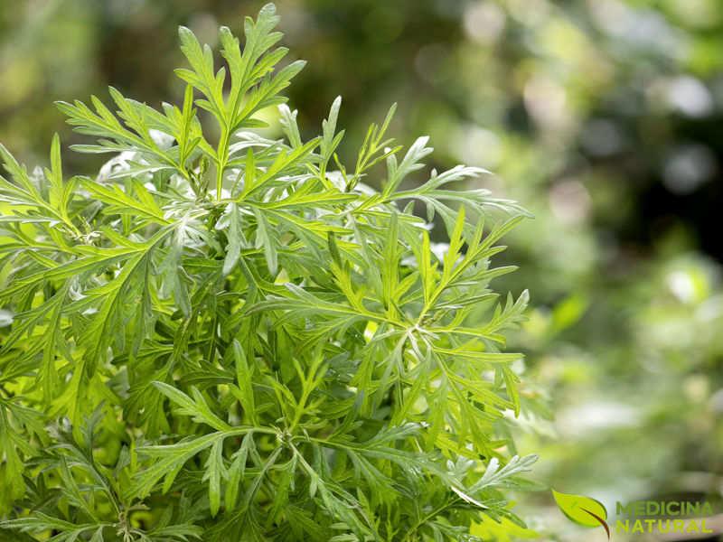 Artemísia - Artemisia vulgaris
