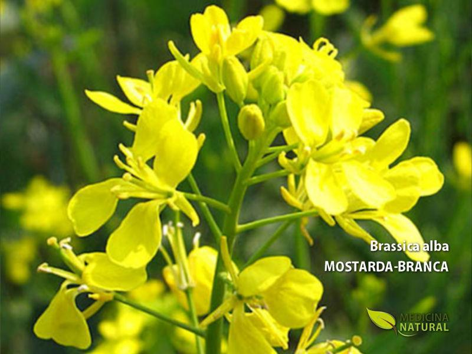 Brassica alba - MOSTARDA-BRANCA
