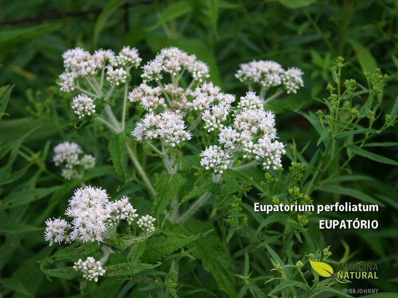 Eupatorium perfoliatum - EUPATÓRIO