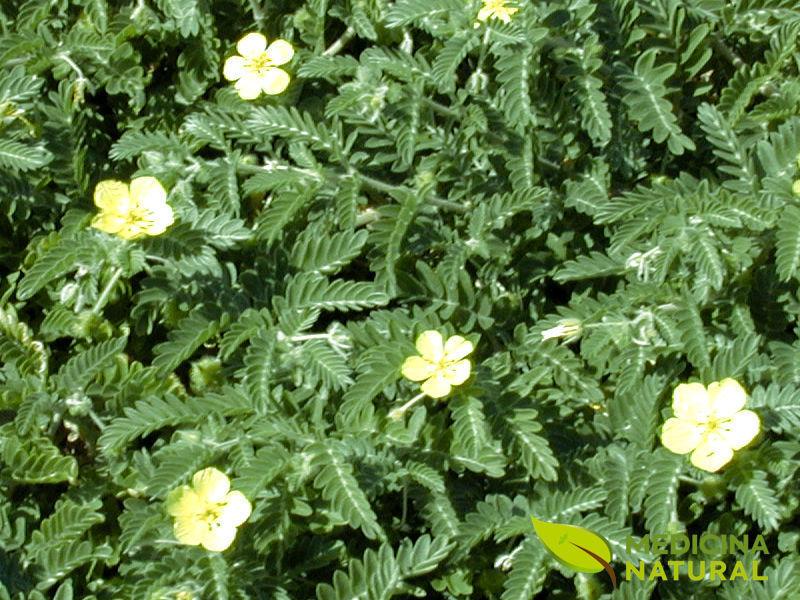 Flores de Tribulus terrestris