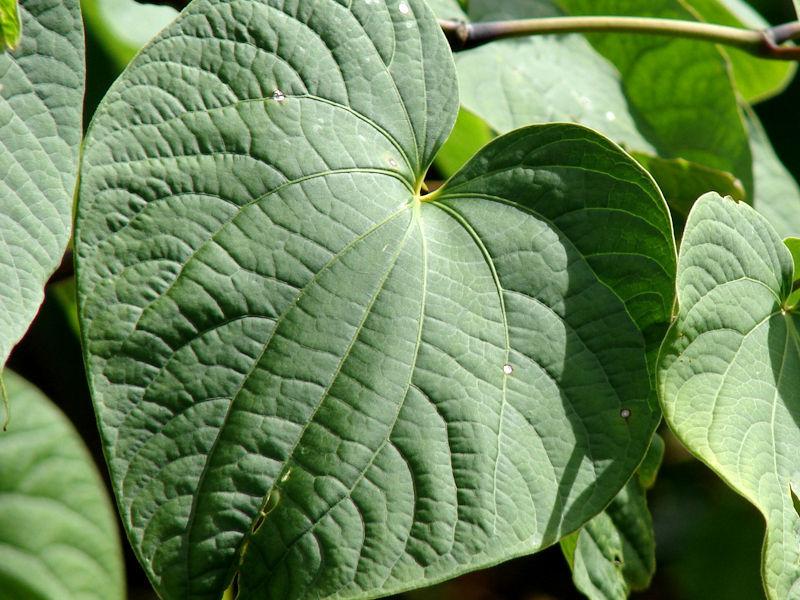 Kava-kava - Piper methysticum