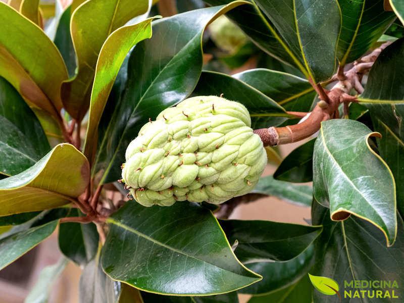 Magnólia - Magnolia glandiflora