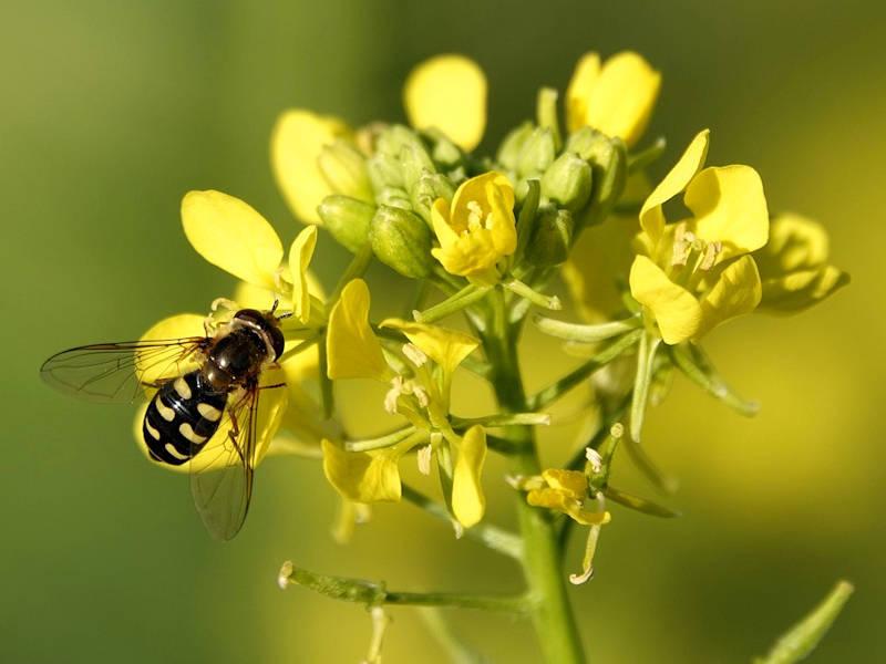 Mostarda - Brassica nigra
