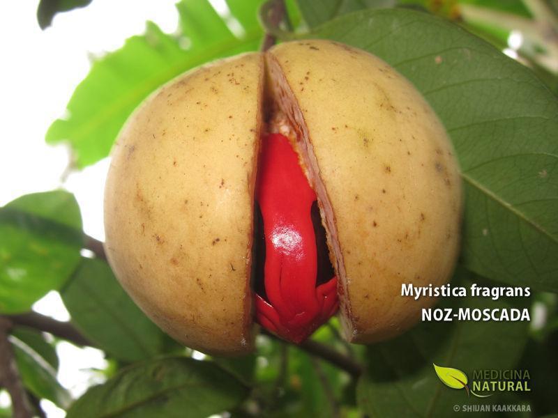 Myristica fragrans - NOZ-MOSCADA